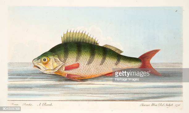 The Perch from A Treatise on Fish and Fishponds pub 1832