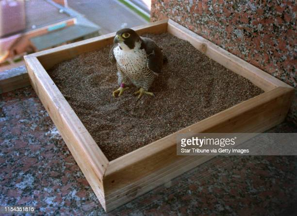 5/1/2000 The peregrine falcon nesting box that was removed from the Colonnade building in Golden Valley last week was replaced Monday evening...