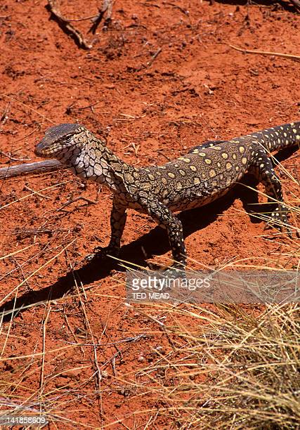 The Perentie ( Varanus giganteus ) is Australia's largest monitor that lives in the desert regions of Central Australia.