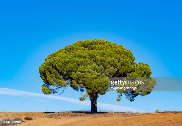 The perfect stone pine