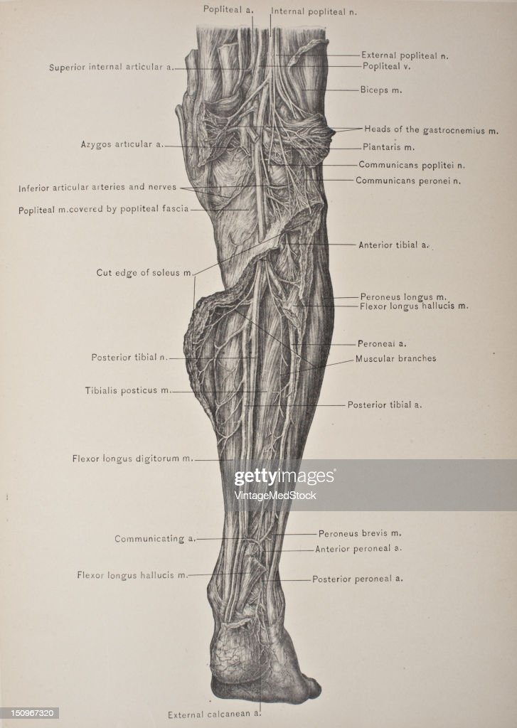 The Peroneal Artery Is The Largest Branch Of The Posterior Tibial