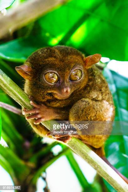 the philippine tarsier (tarsius syrichta) is the world's smallest monkey (4-6 inches high), endangered and unique to the philippines. arboreal, nocturnal and known for its relatively enormous eyes, bohol island, philippines - tarsier stock photos and pictures