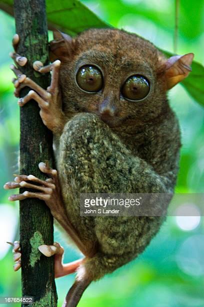 TAGBILARAN BOHOL PHILIPPINES The Philippine Tarsier Tarsius syrichta or Carlito syrichta known locally as the Maumag in Cebuano Visayan and Mamag in...