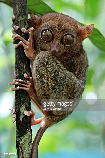 TAGBILARAN BOHOL PHILIPPINES The Philippines Tarsier is an endangered species However it is protected in the Philippines and no more so than on Bohol...