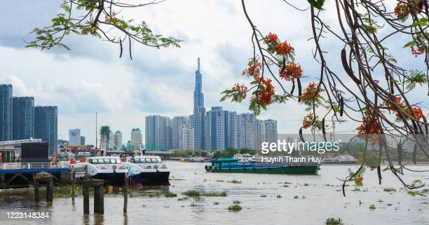 the phoenix flower tree by saigon river - saigon river stock pictures, royalty-free photos & images