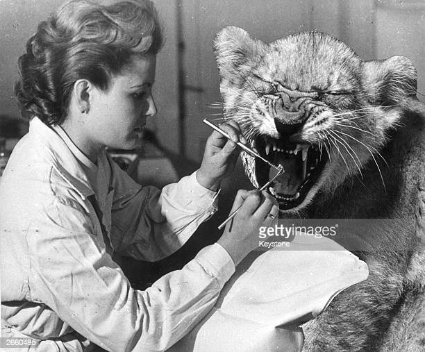 The photograph appears to show a dentist removing a lion's tooth in fact the lion has been superimposed to create an April Fool's day snapshot
