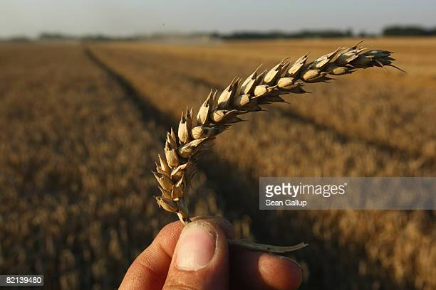 The photographer holds a sprig of wheat at a wheat field being harvested near Juehnsdorf on July 31 2008 near Berlin Germany Though world food prices...