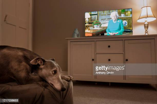 The photographer's pet Whippet looks on as Queen Elizabeth II addresses the nation in a special broadcast to the United Kingdom and the Commonwealth...