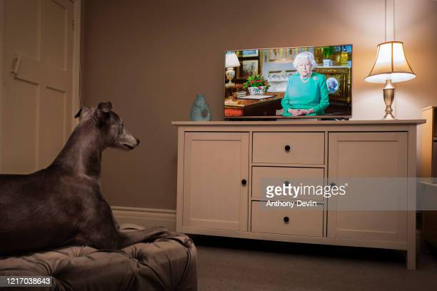 The photographer's pet Whippet looks towards the television as Queen Elizabeth II addresses the nation in a special broadcast to the United Kingdom...
