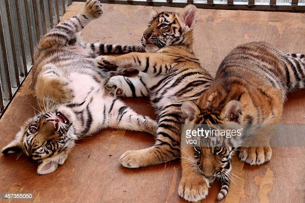 The picture shows baby Siberian tigers at Mount Huangshan Tiger Park on October 16 2014 in Huangshan Anhui province of China Three Siberian female...
