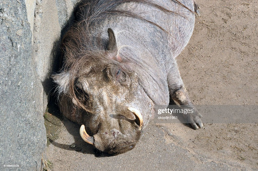 The pig always find dirt. And the boar especially : Stock Photo