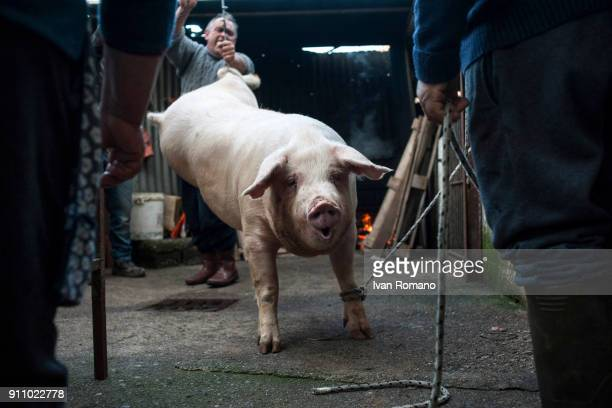 The pig is hoisted with the pulley and controlled by men during the most delicate phase of the operation due to the wriggling of the animal on...
