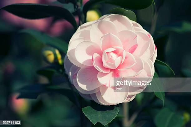The pink Camellia with green leaf,