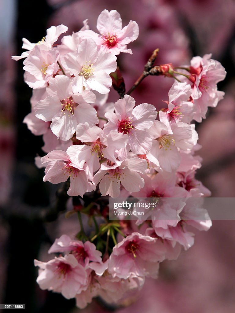 The Pink Cloud Variety Of The Japanese Cherry Blossom Trees Are In