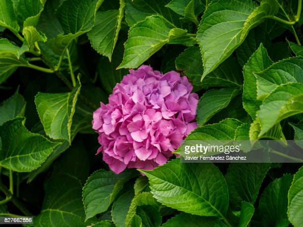 The pink flower of the hydrangea, surrounded by its leaves, in a garden.