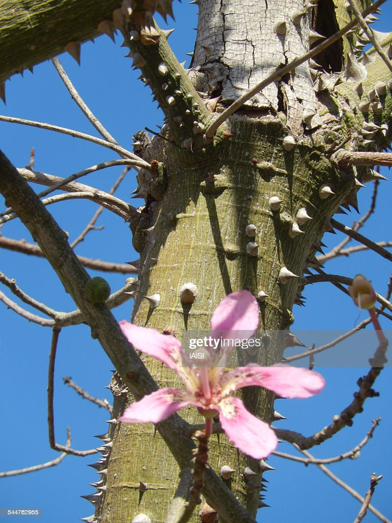 Tree with thorns on trunk stock photos and pictures getty images the pink flower of the kapok tree mightylinksfo