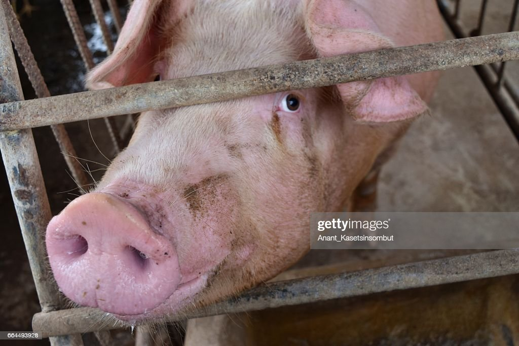 The Pink Pig in a cage : Stock Photo
