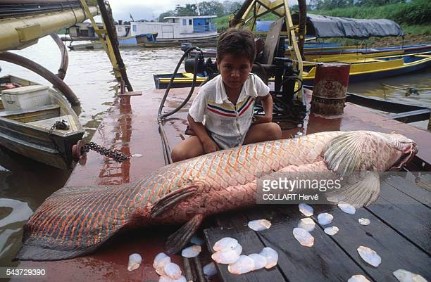 The 'Pirarucu' is the king of the Amazon rivers and has succulent flesh The species has been overfished and a specimen this size is now rare