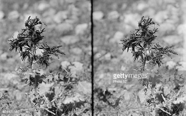 The plague of locusts in Palestine MarchJune 1915 Locusts devouring a thistle 1915