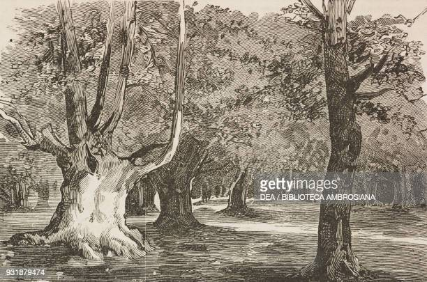 The Plain the centre of the wood Burnham Beeches United Kingdom illustration from the magazine The Graphic volume XXIX n 755 May 17 1884