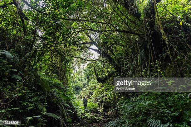 The plant life in the gorilla sector of Virunga National Park on August 6 2013 in Bulima DR Congo UK company Soco International PLC is planning to...