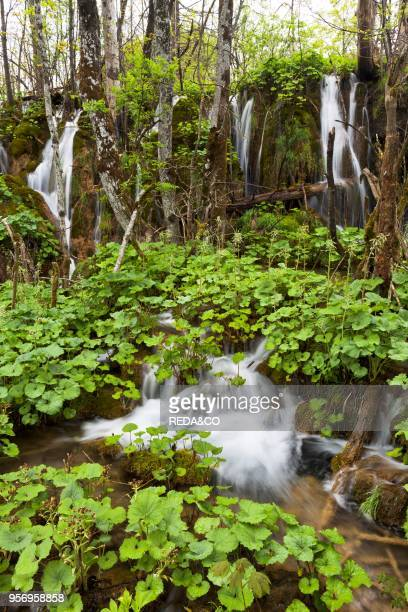 The Plitvice Lakes in the National Park Plitvicka Jezera in Croatia The lower lakes Plitvice Lakes are a string of lakes connected by waterfalls They...
