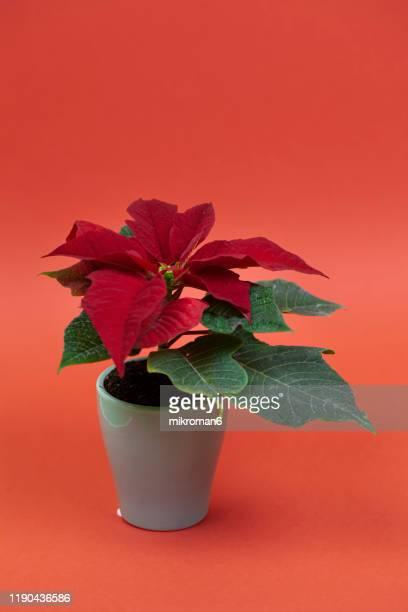 the poinsettia flower (euphorbia pulcherrima), (christmas flower) - flor de pascua fotografías e imágenes de stock