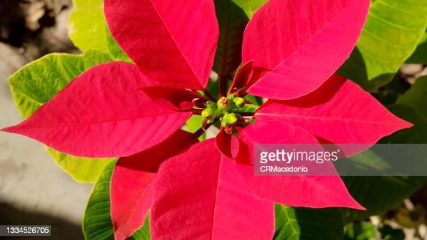 the poinsettia (euphorbia pulcherrima) - crmacedonio fotografías e imágenes de stock