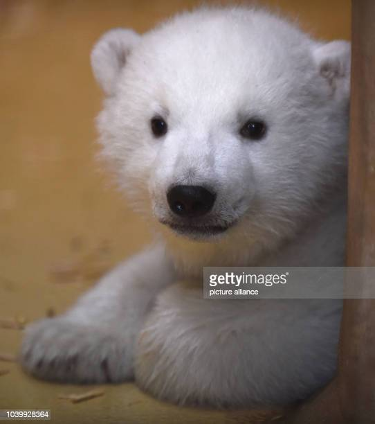 The polar bear cub born on 11 December 2015 plays in the 'Back Stage' enclosure at the zoo in Bremerhaven Germany 09 March 2016 Thanks to the heavy...