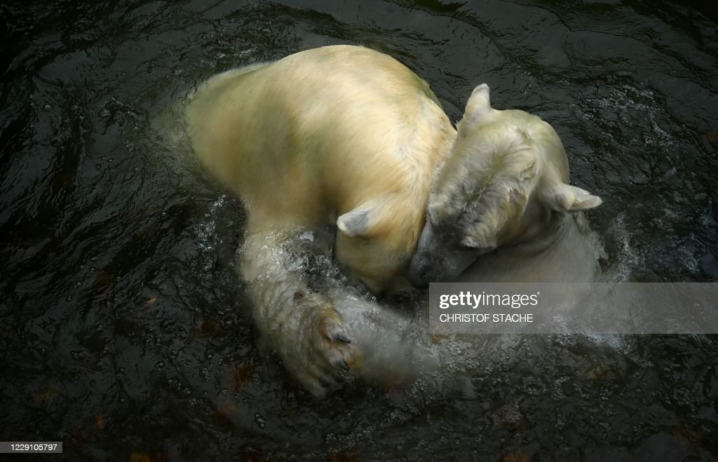 GERMANY-ANIMAL-ZOO-POLAR-BEAR : News Photo
