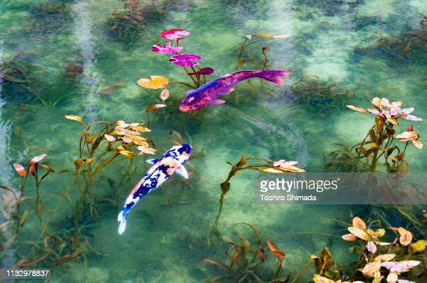 """the pond called """"monet's pond"""" and two koi carps in gifu prefecture, japan - 岐阜県 ストックフォトと画像"""