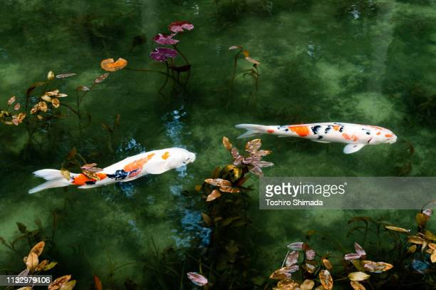 """the pond called """"monet's pond"""" and two koi carps in gifu prefecture, japan - impressionism stock pictures, royalty-free photos & images"""