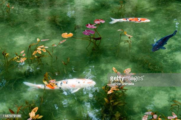 """the pond called """"monet's pond"""" and two koi carps in gifu prefecture, japan - koi carp stock pictures, royalty-free photos & images"""