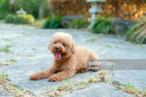 the poodle in the sunset - caniche toy photos et images de collection