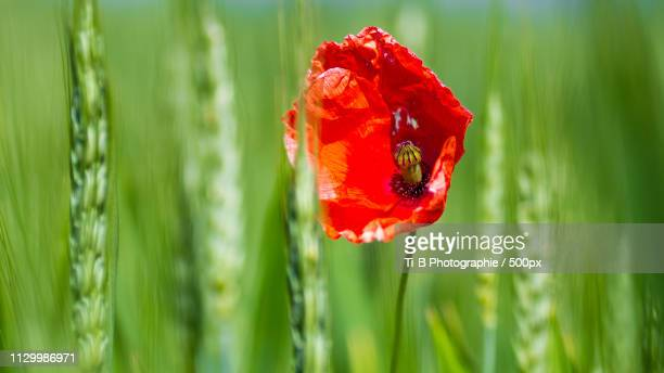 The Poppy And The Wheat