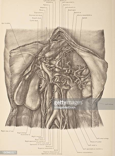 The portal vein is a blood vessel which conducts blood from the gastrointestinal tract and spleen to the liver 1903 From 'Surgical Anatomy The...