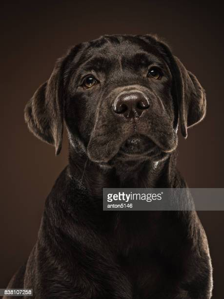 Het portret van een zwarte Labrador hond genomen tegen een donkere achtergrond
