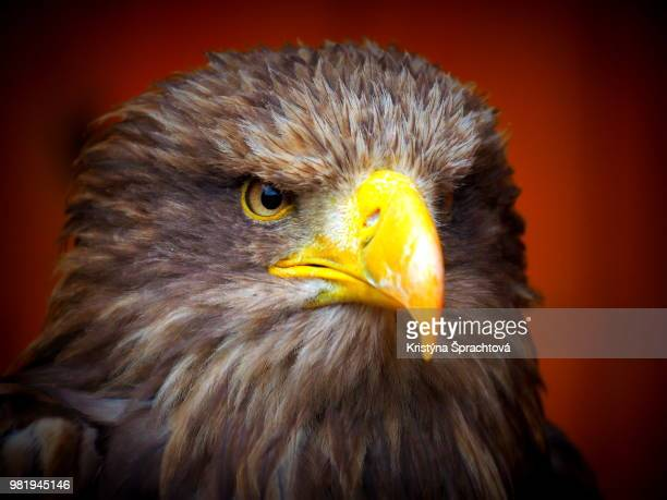 the portrait of eagle - czech hunters stock-fotos und bilder