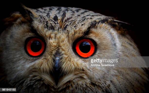 the portrait of horned owl - czech hunters stock pictures, royalty-free photos & images