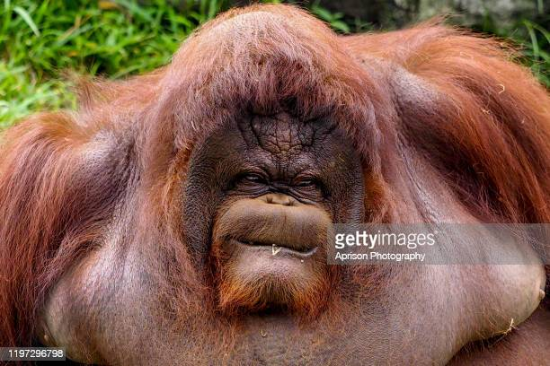 the portrait of orang utan showing funny expression - fur stock pictures, royalty-free photos & images
