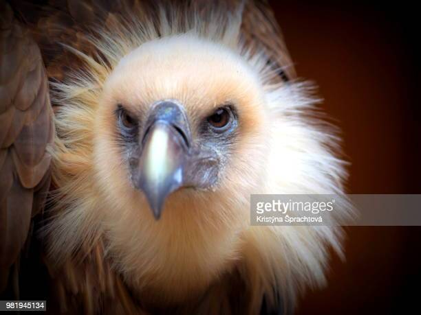 the portrait of vulture - czech hunters stock-fotos und bilder
