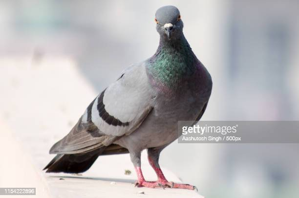 the pose - pigeon stock pictures, royalty-free photos & images