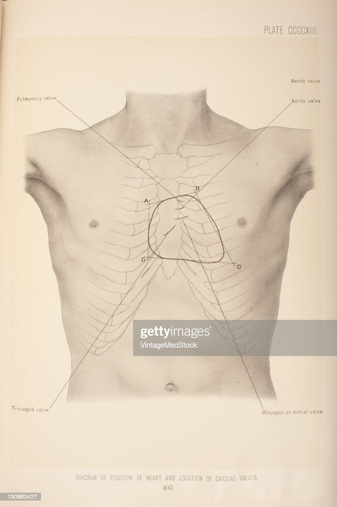 Diagram Of Position Of Heart & Location Of Cardiac Valves Pictures ...