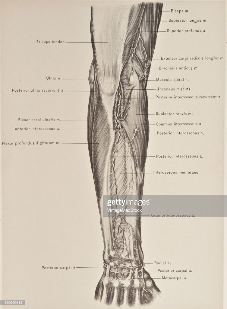 Anterior Posterior Interosseous Arteries Pictures Getty Images