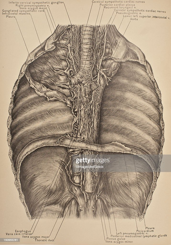 The Posterior Mediastinum Viewed From The Front Pictures Getty Images