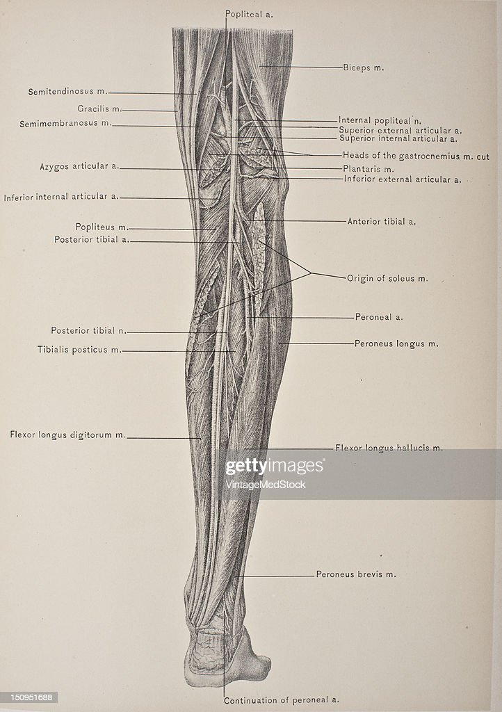 Deep Muscles Of The Back Of The Leg & Posterior Tibial Artery ...