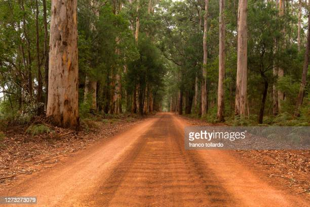 the power of nature in the south forest, high tree and red road - south australia stock pictures, royalty-free photos & images