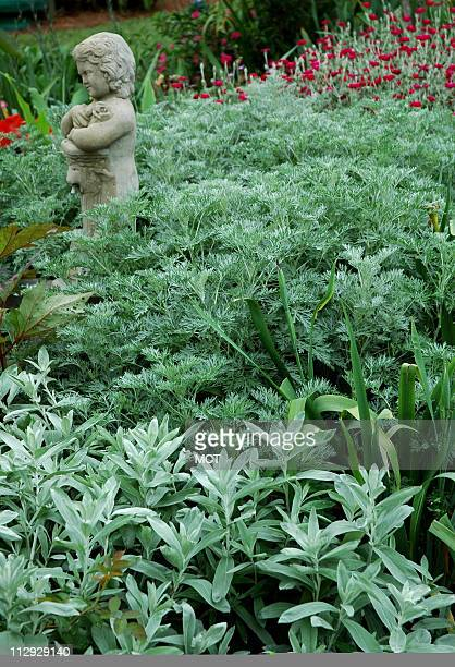 The Powis Castle a hybrid of the artemisia family is one of the most beautiful plants for the spring and summer garden