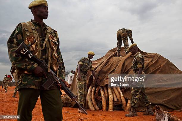 The preparation for the burning of 5 tons of trafficked Ivory recovered from a seizure in Singapore in 2002 Manyani Tsavo Kenya July 20 2011 The...