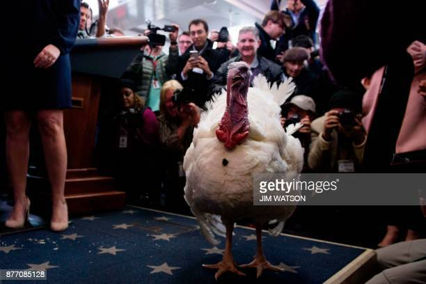 The press gets a sneak peak at the tobepardoned Thanksgiving turkey Wishbone in the press briefing room of the White House in Washington DC on...